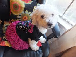 bichon frise 17 years old how to train a bichon frise 11 steps with pictures wikihow