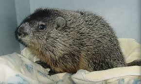 wildlife rehab clinic ridge mo education groundhog