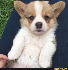 Vote For Me Meme - cute corgi meme doggo a vote for me is a vote for corgis cute