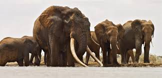 beloved african elephant killed for ivory u2014