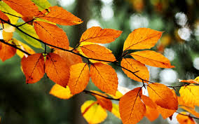 leaves orange yellow branch tree fall autumn nature wallpaper