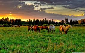horses grazing in field papel de parede texas ranch house foto
