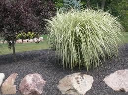 miscanthus sinensis variegated variegated maiden grass garden