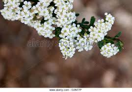 Tree With Little White Flowers - clusters of white flowers stock photos u0026 clusters of white flowers
