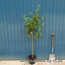 conference pear tree pear trees for sale