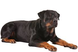 belgian shepherd vs rottweiler rottweilers reward researchers american kennel club