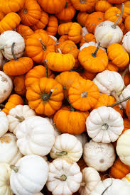 white pumpkins orange white pumpkins free stock photo domain pictures