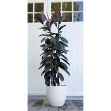 tall ficus robusta u0027black knight u0027 cool indoor plants pinterest