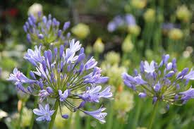 Purple Lillies Purple Lily Of The Night Free Image Peakpx