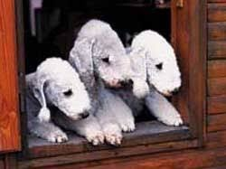 grooming a bedlington terrier puppy 88 best bedlington terrier images on pinterest terrier horse