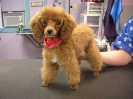 different toy poodle cuts puppies first groom questions for new owners