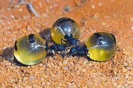 serena parker afghan hound judge honeypot ants fun animals wiki videos pictures stories