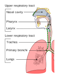 Anatomy And Physiology Of Copd Respiratory Tract Wikipedia