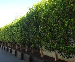 ficus tuffi hedge specimen tree co nz gardens plants