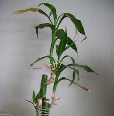 saving a sentimental but lucky bamboo plant