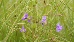 minnesota native plants individual native flower seed minnesota native landscapes