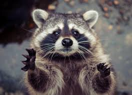 catching racoon animals pinterest racoon raccoons and animal