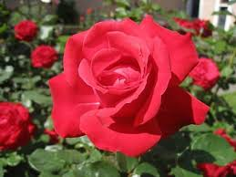 roses symbol