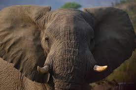 free stock photo of africa elephant savannah