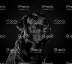 labrador retriever on a black background in the studio stock photo