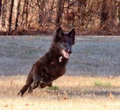 belgian sheepdog groenendael rescue gallery u2013 blackforest belgian sheepdogs groenendael