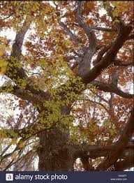 White Oak Tree 200 Year Old White Oak Tree With Fall Foliage Used For Barrels