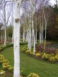 betula utilis jacquemontii other trees birch maplestone