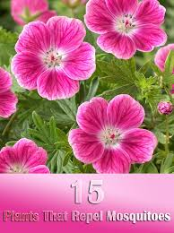 Flowers That Keep Mosquitoes Away 15 Plants That Repel Mosquitoes Quiet Corner
