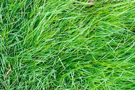 determine ideal mowing height turf