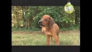 belgian malinois 101 youtube rhodesian abc canino 101 dogs español youtube