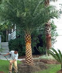 sylvester date palm tree sylvester date palm cold hardy palms bamboo