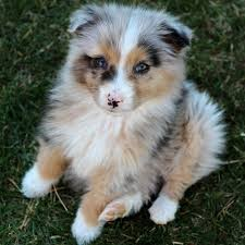 miniature australian shepherd 8 weeks best 25 puppy love ideas on pinterest adorable puppies cute
