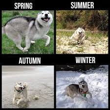 Funny Husky Memes - hilarious memes for anyone who loves huskies cutesypooh