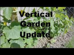Make Your Own Cucumber Trellis Vertical Gardening Diy Cucumber Trellis Week 5 Youtube
