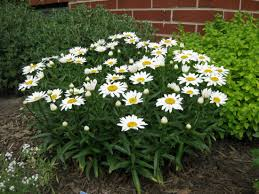 Low Maintenance Plants And Flowers - leucanthemum x superbum snow lady shasta daisy white flowers dwarf