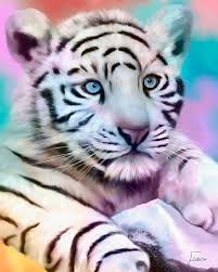 white tiger with blue wallpaper