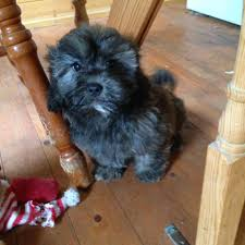 affenpinscher reviews moss hey kennels home facebook