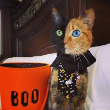 the purrfect halloween kitty meet venus the two face cat