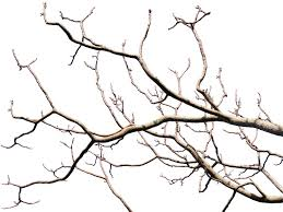 dead tree branch with transparent background png isolated objects