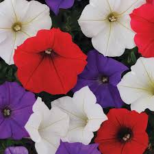 Dry Basement Wave Shock Wave Volt Mix Petunia Seeds From Park Seed