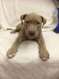 american pitbull terrier 9 meses taigher american bully 2 meses pet pinterest