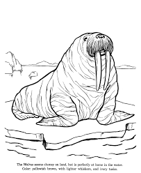 coloring page for walrus animal drawings coloring pages walrus animal identification