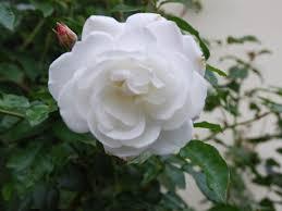 iceberg u2013 floribunda rose of purest white exceedingly healthy and