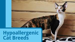 hypoallergenic cat breeds petmd