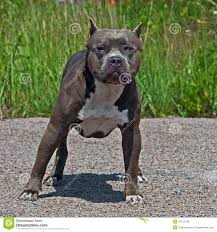 american pitbull terrier merchandise american pitbull terrier stock photo image 26377380