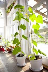 best 25 cucumber plant ideas on pinterest vegetable garden tips