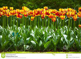 Images Of Tulip Flowers - tulip flowers garden in spring background or pattern stock image