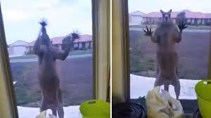 terrified british family trapped in house as angry kangaroo pounds