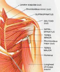name of shoulder muscles body muscles names in hindi diagram body