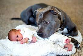 boxer dog kills man man worried about wife u0027s pit bull when baby is born is completely